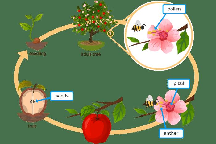 دورة حياة النبات للأطفال