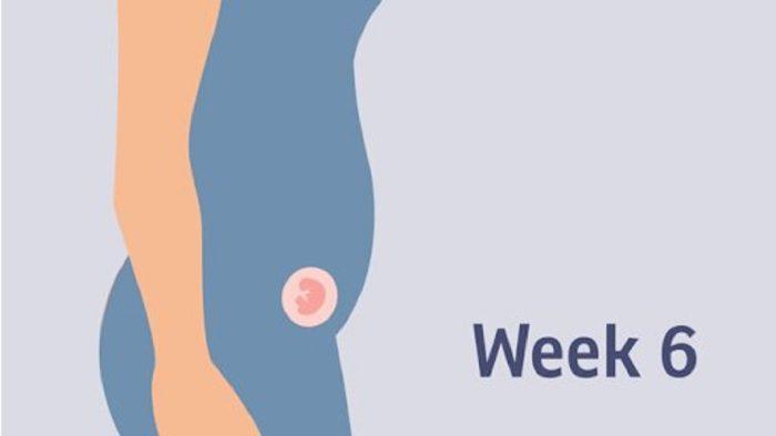 حجم الجنين في الأسبوع السادس