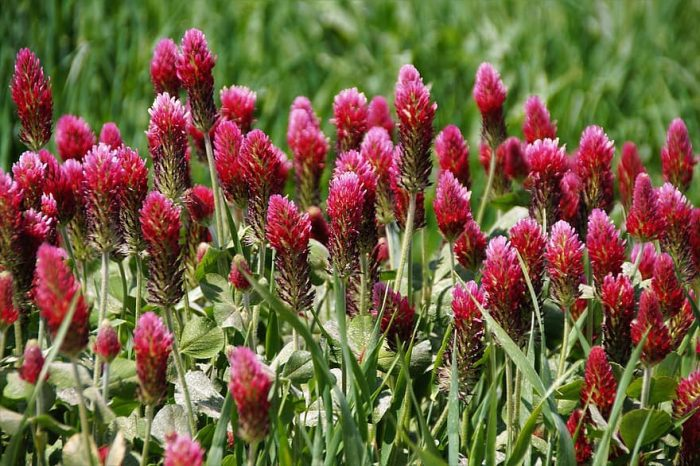 زهرة البرسيم الأحمر